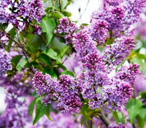 Lovely Lilacs